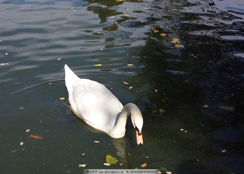 大天鹅 水鸟 飞鸟 鸟类 动物世界 摄影 生物世界