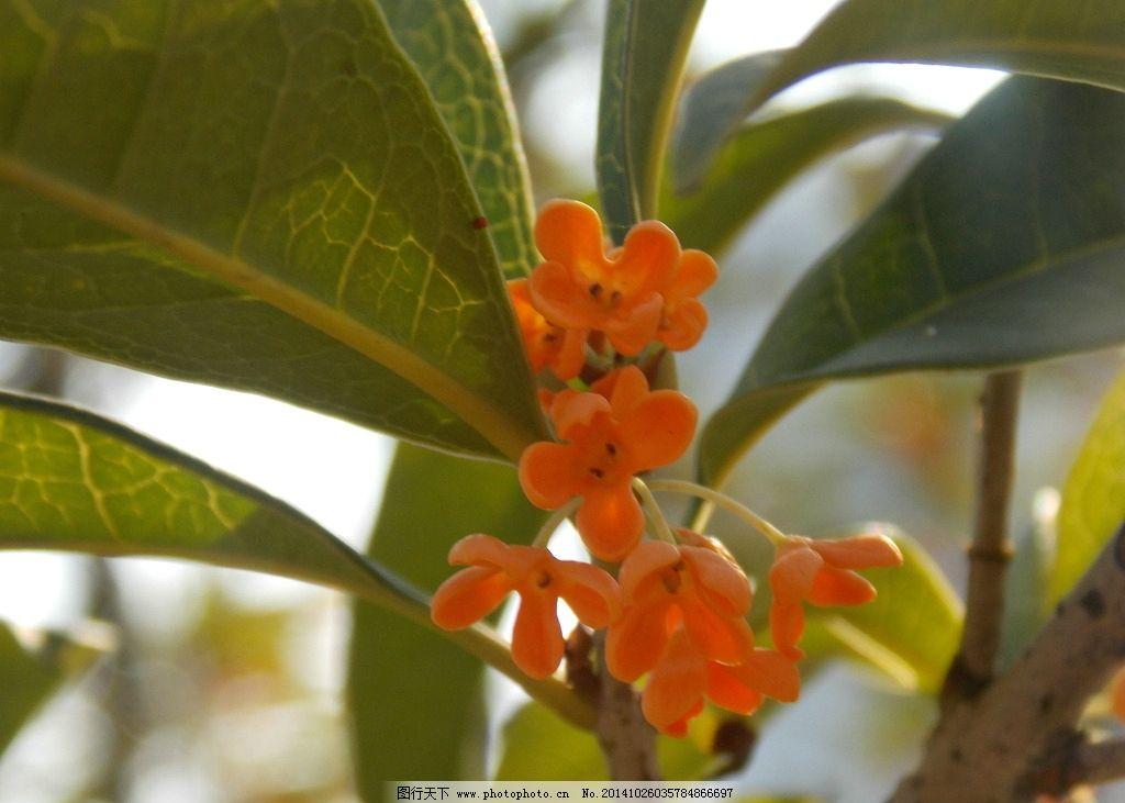 桂花树 桂花 叶子 绿叶 天空 树枝 树木 摄影 生物世界 花草 300dpi
