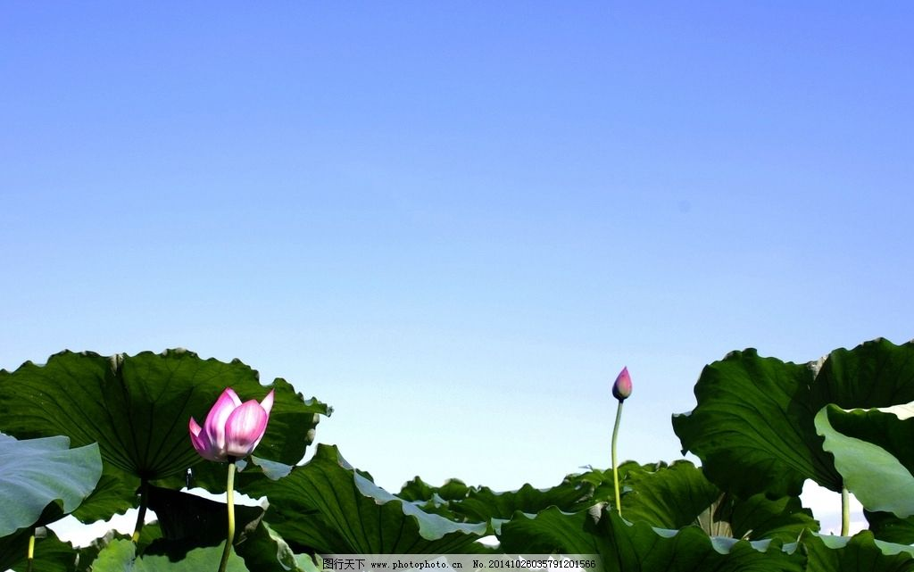 夏日西湖 西湖 荷花 荷塘 荷池 荷叶 花 鲜花 花卉 花朵 池塘 植物