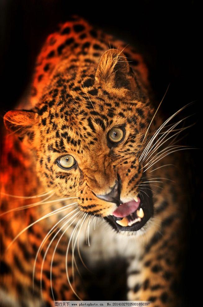 野生动物 猎豹 保护动物 森林动物 高清图片 摄影 生物世界 野生动物
