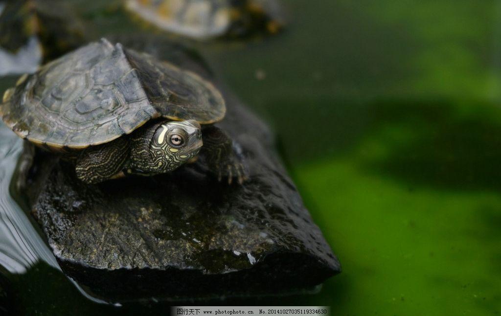 龟 水龟 乌龟 动物 爬行类 绿色 摄影 生物世界 海洋生物 350dpi jpg