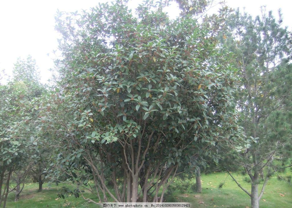 桂花 十里香 爱花 绿叶 风景 摄影 生物世界 树木树叶 72dpi jpg