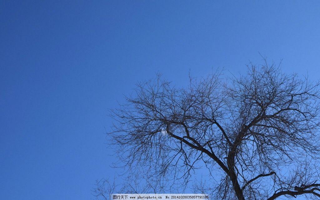 白杨树图片