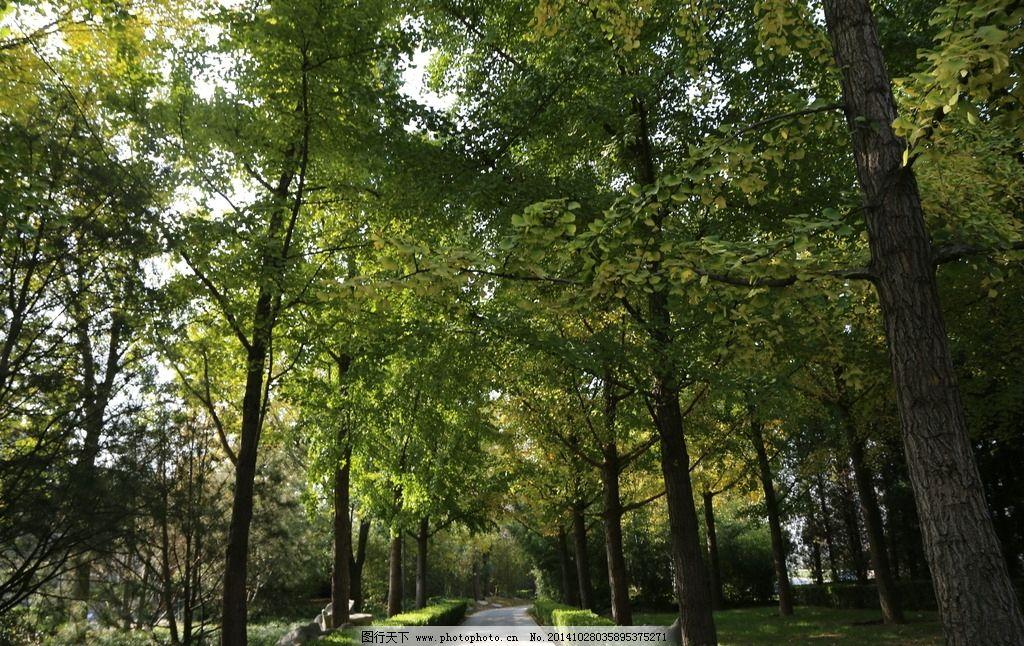 银杏 白果 银杏树 银杏林 树木 风景 树冠 树枝 树叶 植物