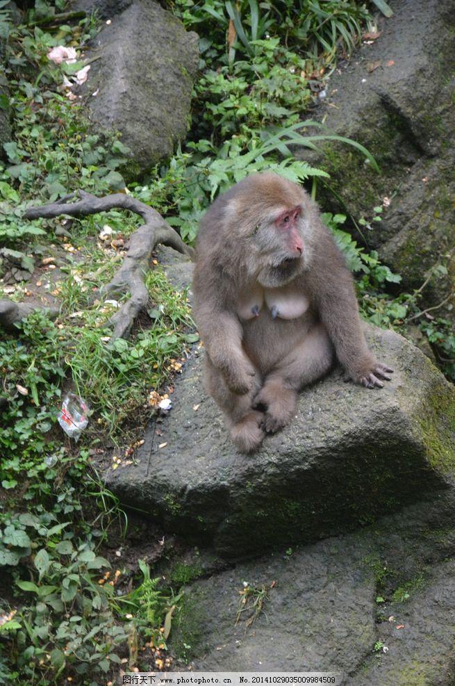 猴子 石头 自然 风景 背景 摄影 生物世界 野生动物 300dpi jpg