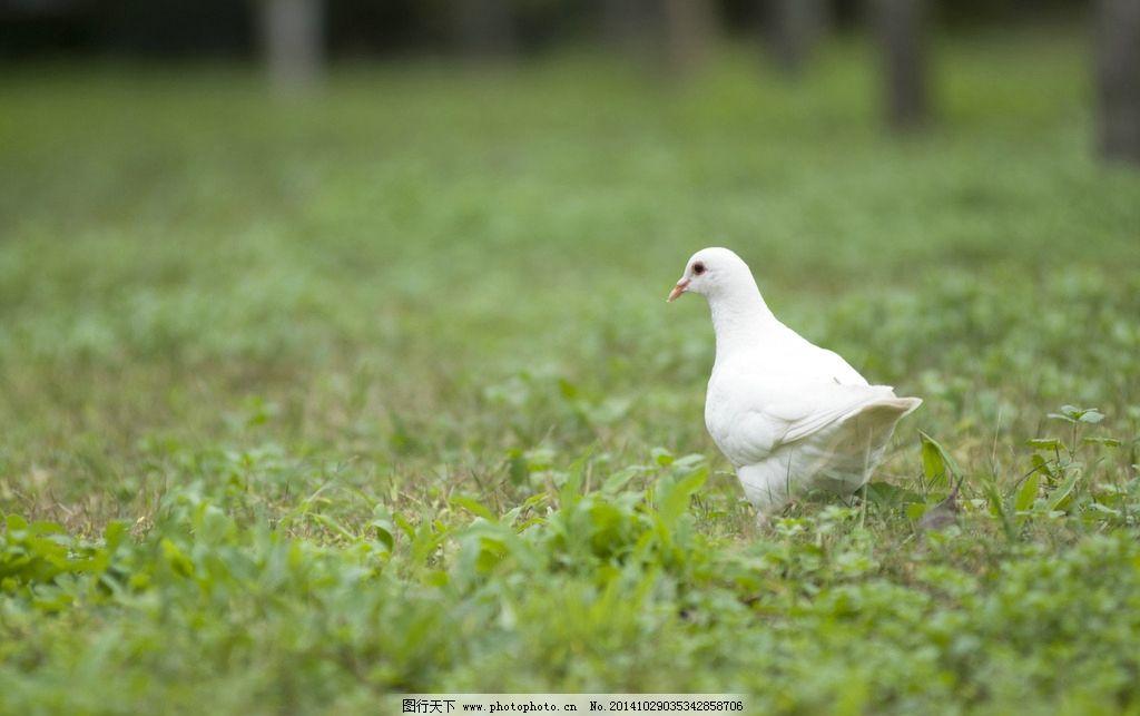 绿色 植物 动物 鸽子 白鸽  摄影 生物世界 鸟类 240dpi jpg