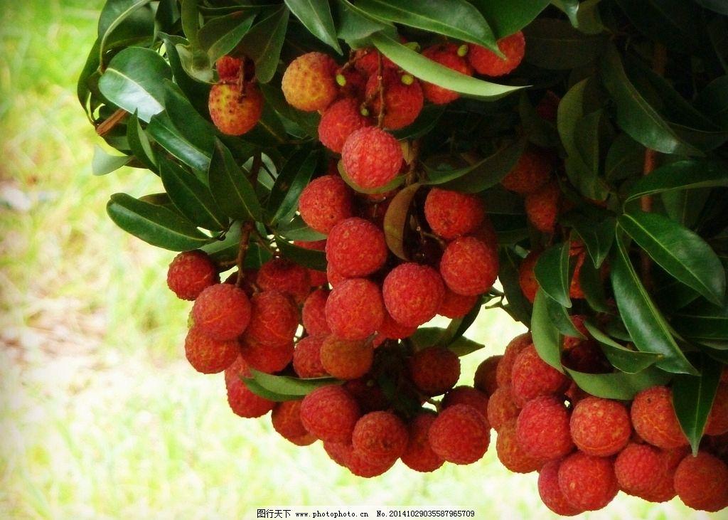 荔枝 妃子笑 水果 荔枝树 果实 成熟 新鲜 可口 摄影 生物世界 水果