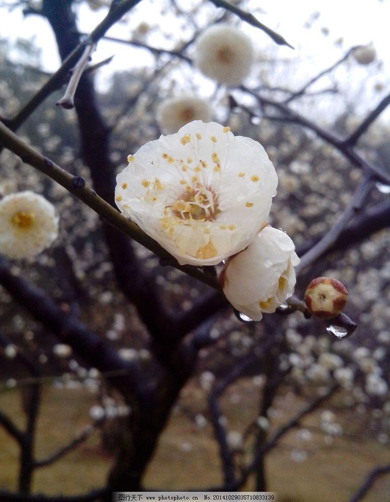 梅花 梅 雨后 白色 冬天 春天  摄影 生物世界 花草 72dpi jpg