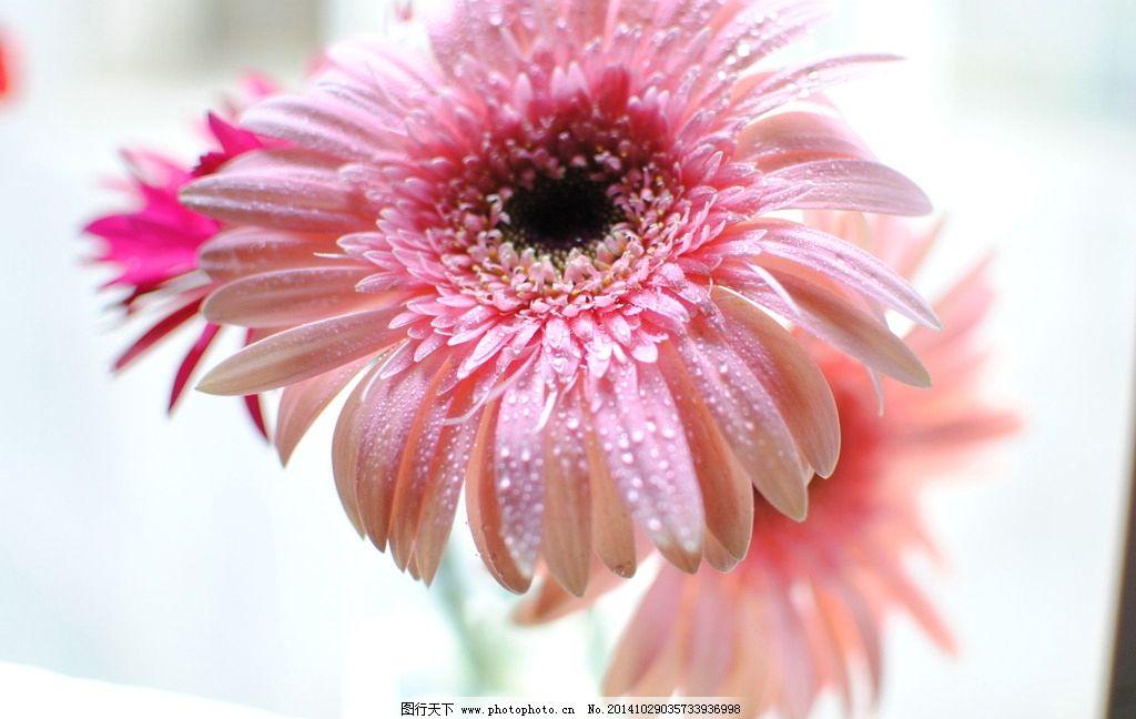太阳花 唯美花朵 粉色的花 花草 意境花朵 摄影 生物世界