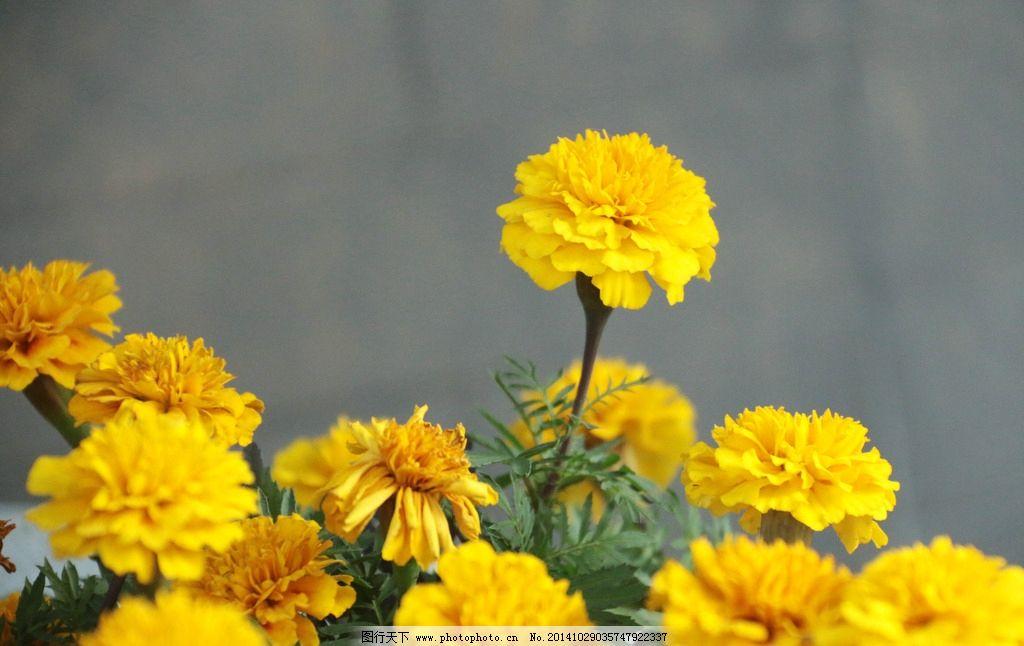 小黄花图片
