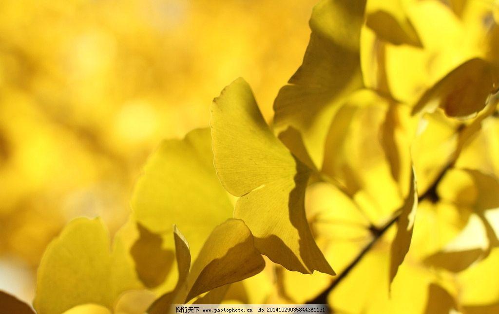 银杏 秋天 秋色 银杏叶 黄色 摄影