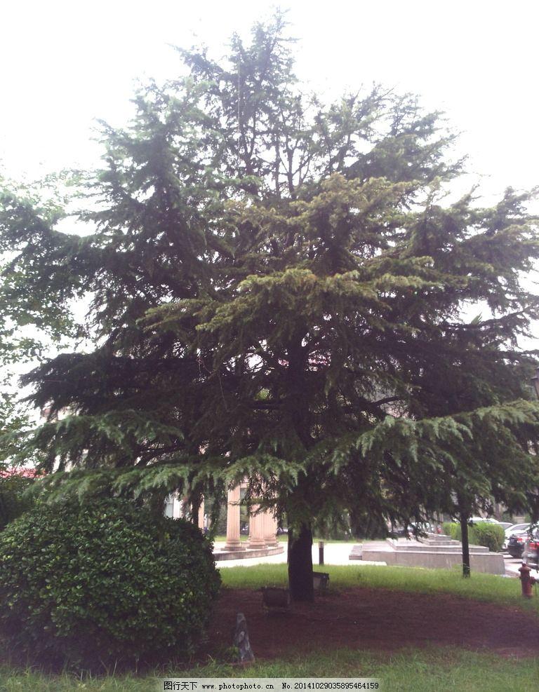 松柏树 松柏 松树 柏树 绿化树 常青树 摄影图 摄影 生物世界 树木