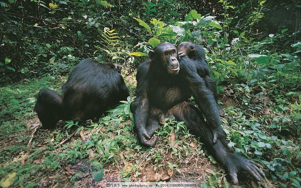 黑猩猩 猩猩 动物 高清 野生动物 动物世界 动物世界 摄影 生物世界