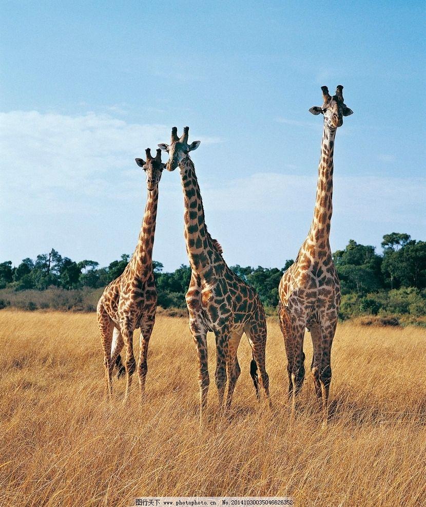 长颈鹿 动物 高清 野生动物 动物世界 摄影 生物世界