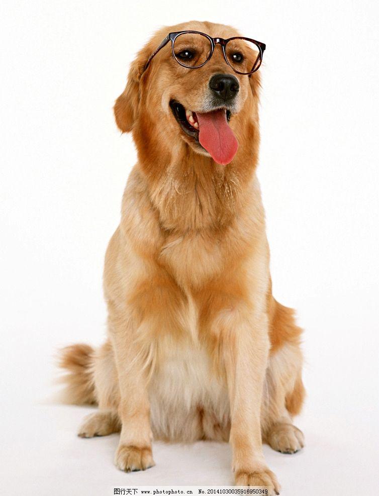 金黄狗高清图图片