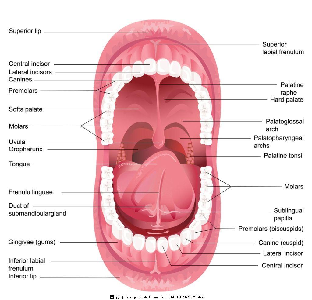 牙齿 牙齿健康 健齿 嘴唇 口腔 手绘 牙齿图标 卡通设计 健康牙齿广告