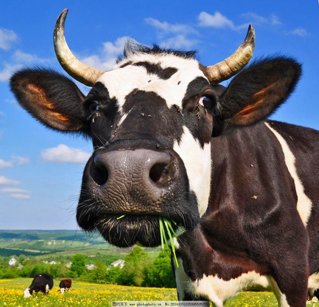 奶牛 花斑奶牛 可爱 黑白奶牛 花奶牛 大奶牛 吃草的奶牛 母牛 小草
