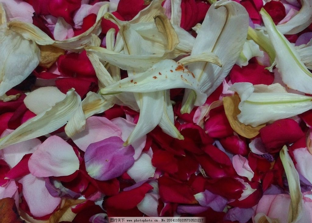 玫瑰百合花瓣图片