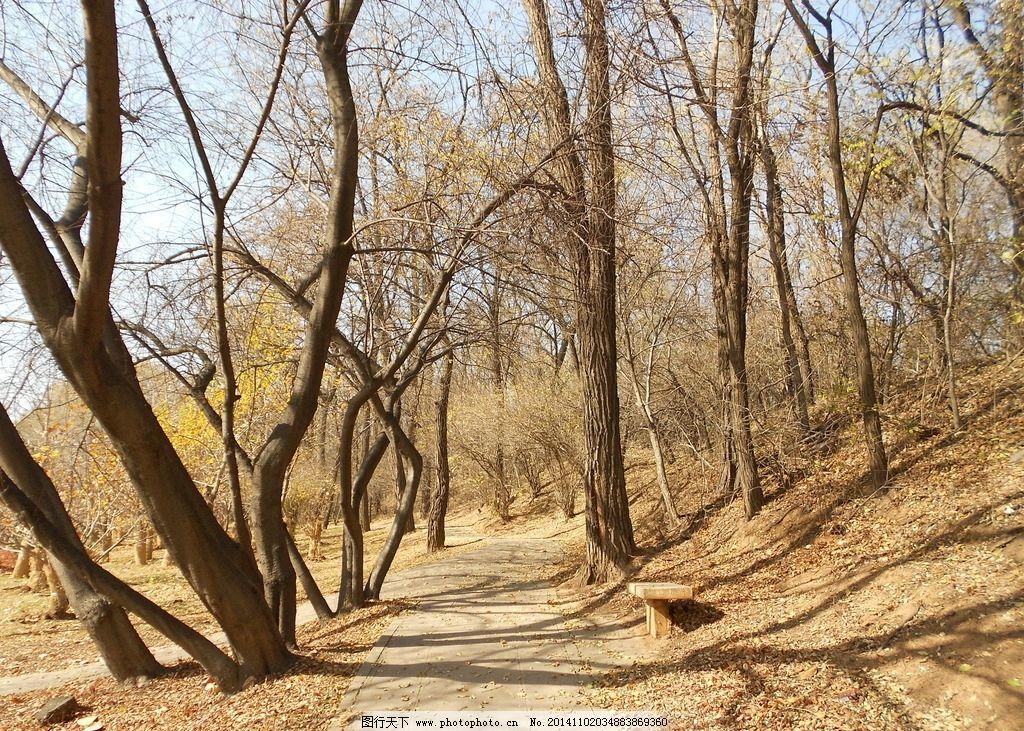 秋天树林 秋季 落叶 金黄 旅游 风景 自然 摄影 原创 树枝