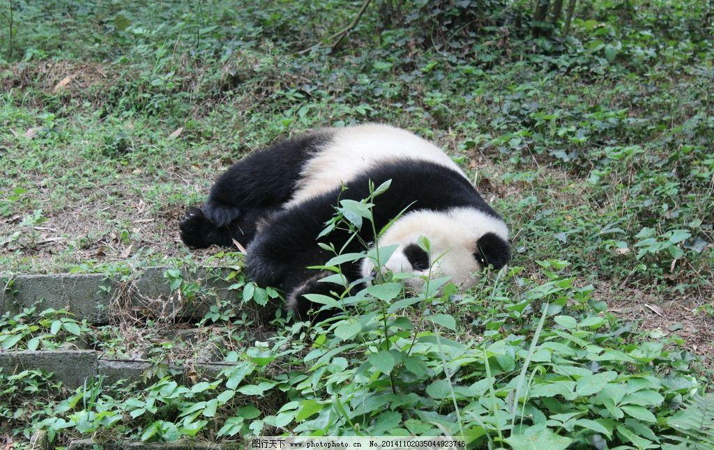 熊猫 摄影 高清 旅游 四川 成都 熊猫基地 动物