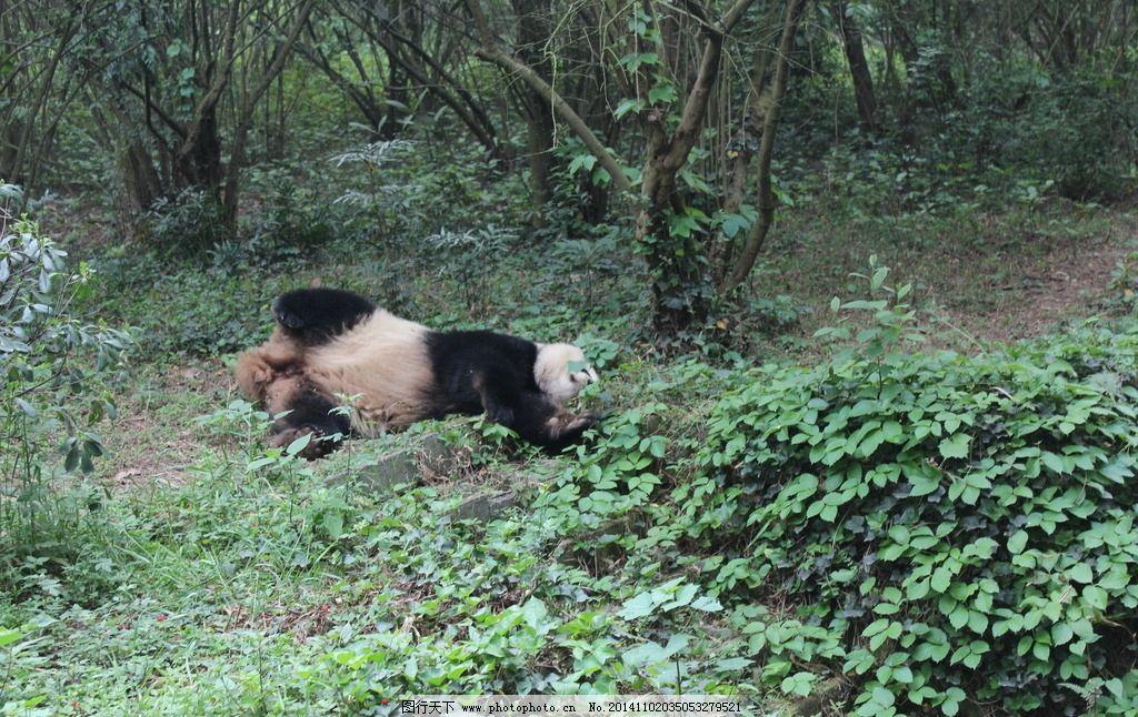 摄影 高清 旅游 四川 成都 熊猫基地 动物 熊猫 摄影 生物世界 野生