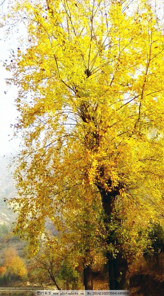 壁纸 银杏 银杏树 银杏叶 548_987 竖版 竖屏 手机