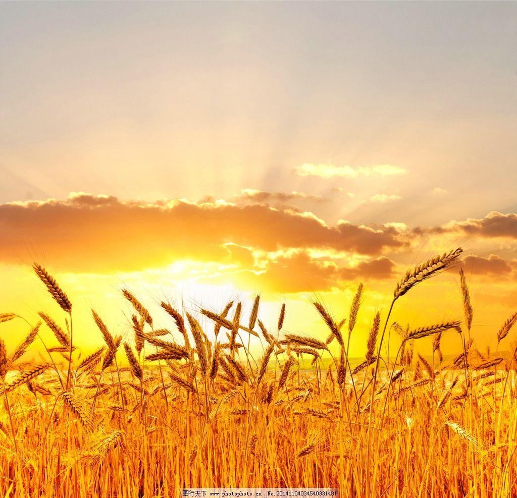 金色麦田图片