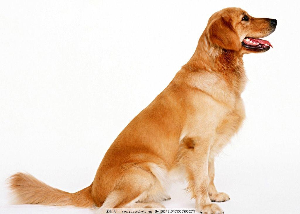 动物世界 家庭 宠物 狗 犬 摄影 生物世界 野生动物 72dpi jpg