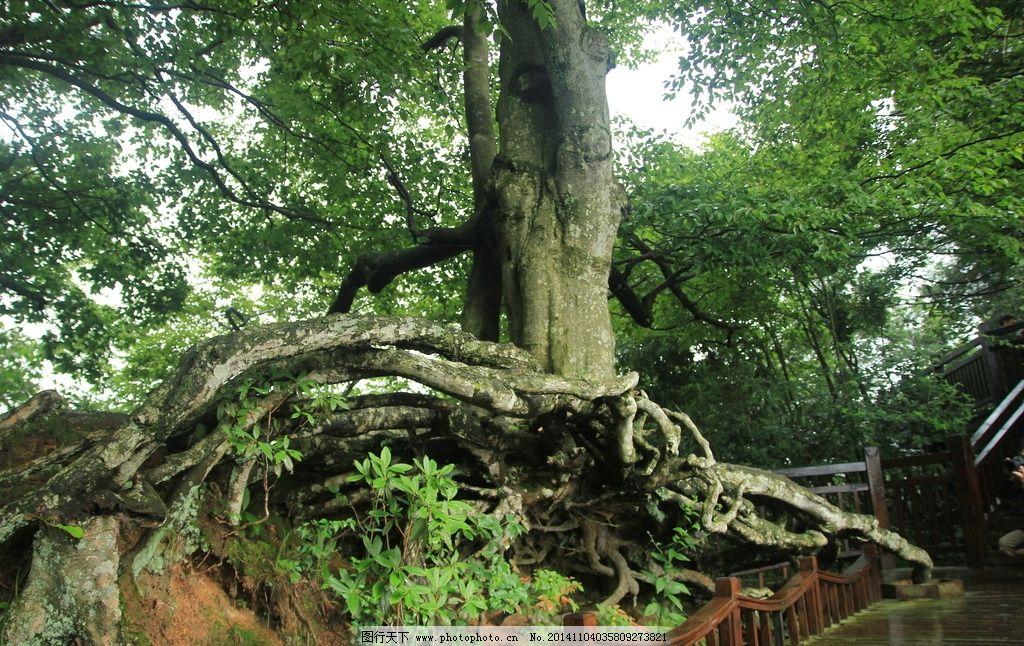 风景树根 古树 大树 摄影