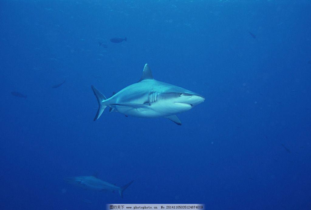 鲨鱼 大海 蓝色 海底 海洋 海底世界 28潜水海运 摄影 生物世界 海洋