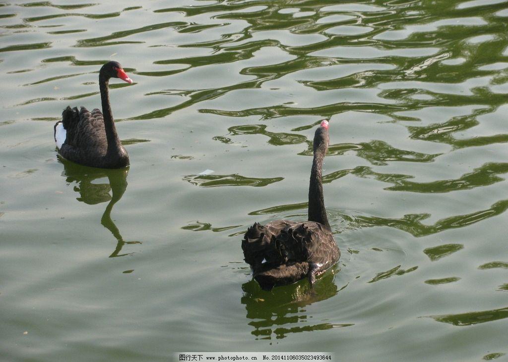 黑天鹅 天鹅 游禽 鸟类 湖水 美丽北京 自然景观 动物世界 摄影 生物