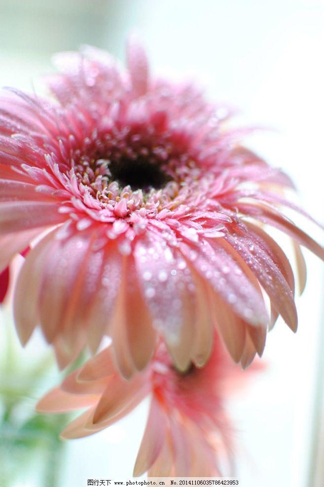 太阳花 唯美花朵 粉色的花 花草 意境花朵 摄影 生物世界 花草 300dpi