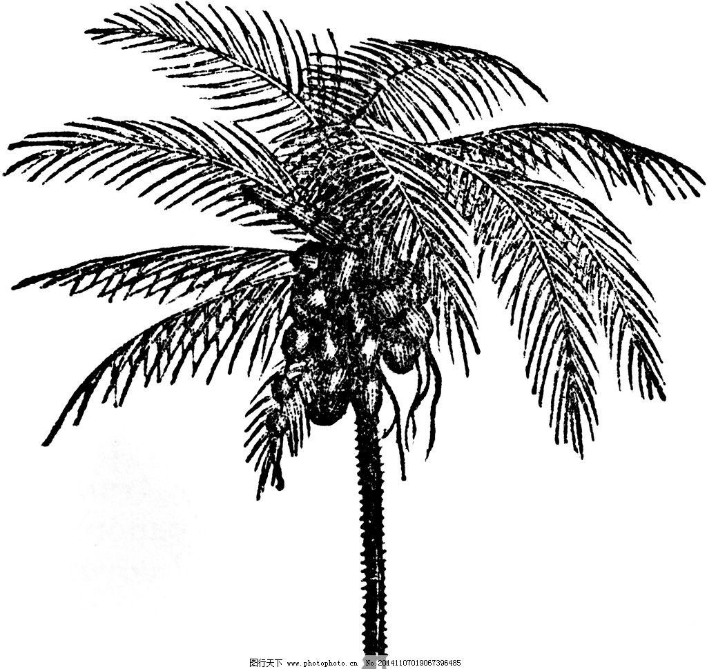 树手绘 椰子树 椰子树素描