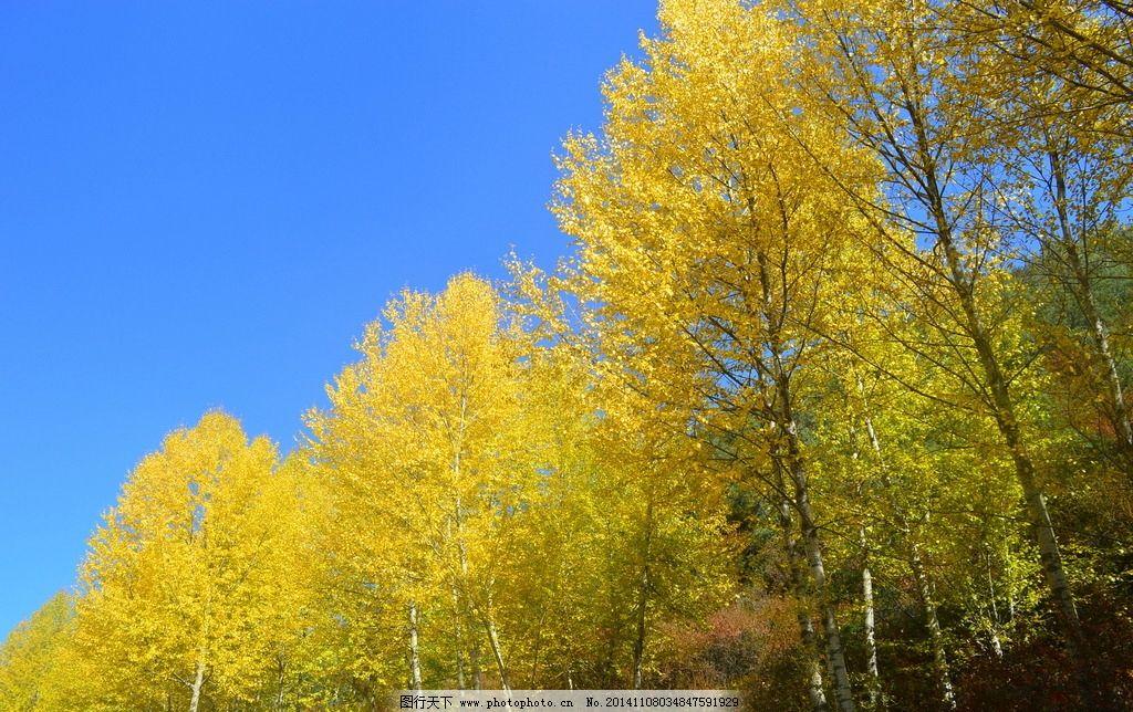 优美杨林 风景优美 美丽风光 乔木 杨柳 药用植物 胡杨 树木