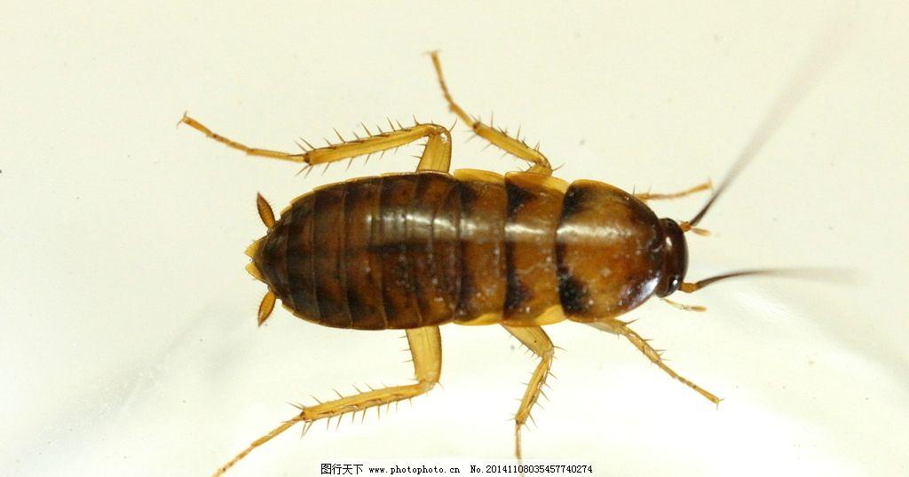 蟑螂图片_昆虫_生物世界