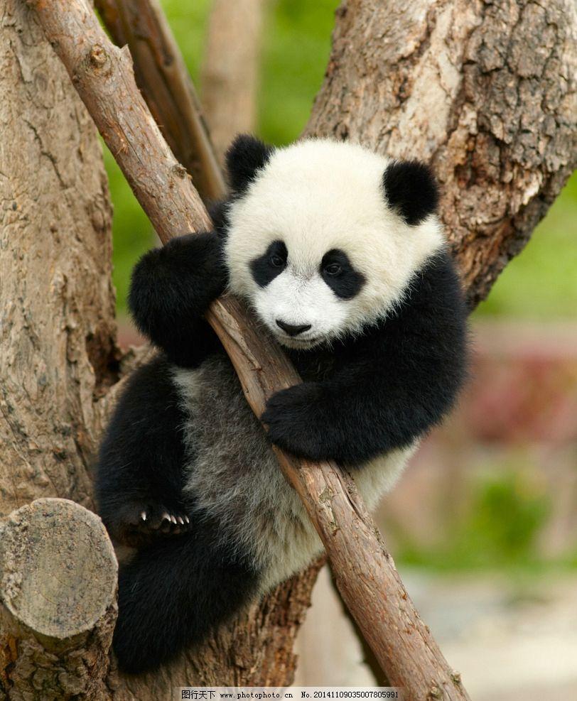 熊猫 大熊猫 保护动物 一级保护动物 濒危动物 玩耍 国宝 可爱 脯乳