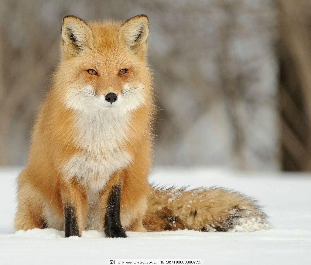 狐狸 野生 动物 金色 环保 摄影 生物世界 野生动物