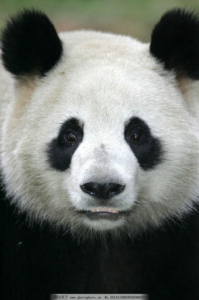 壁纸 大熊猫 动物 655_987 竖版 竖屏 手机