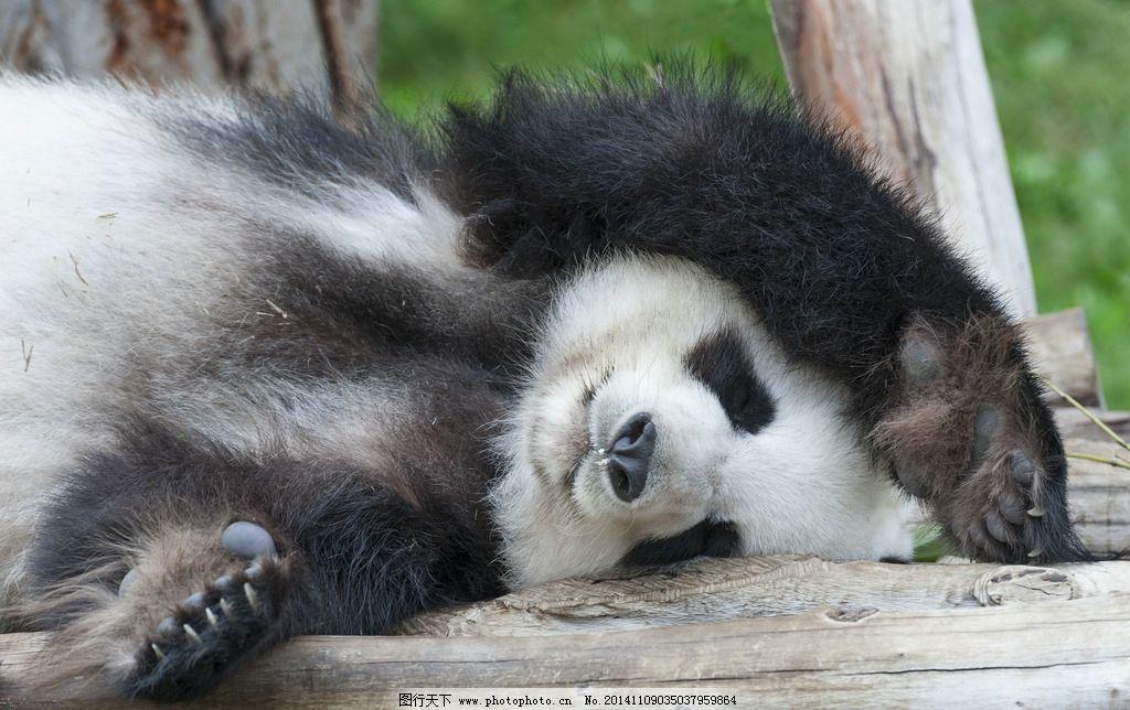 熊猫 大熊猫 保护动物 一级保护动物 濒危动物 玩耍 国宝 可爱
