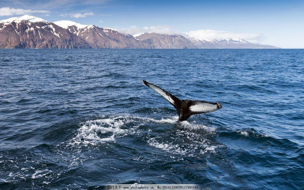 鲸鱼图片,野生动物 大海 海洋 脯乳动物 生物世界-图