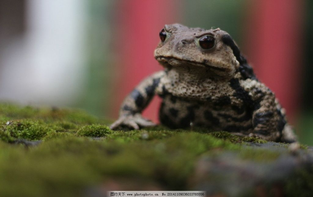 蟾蜍 蛙类 两栖动物 益虫 高清 摄影 生物世界 其他生物 72dpi jpg