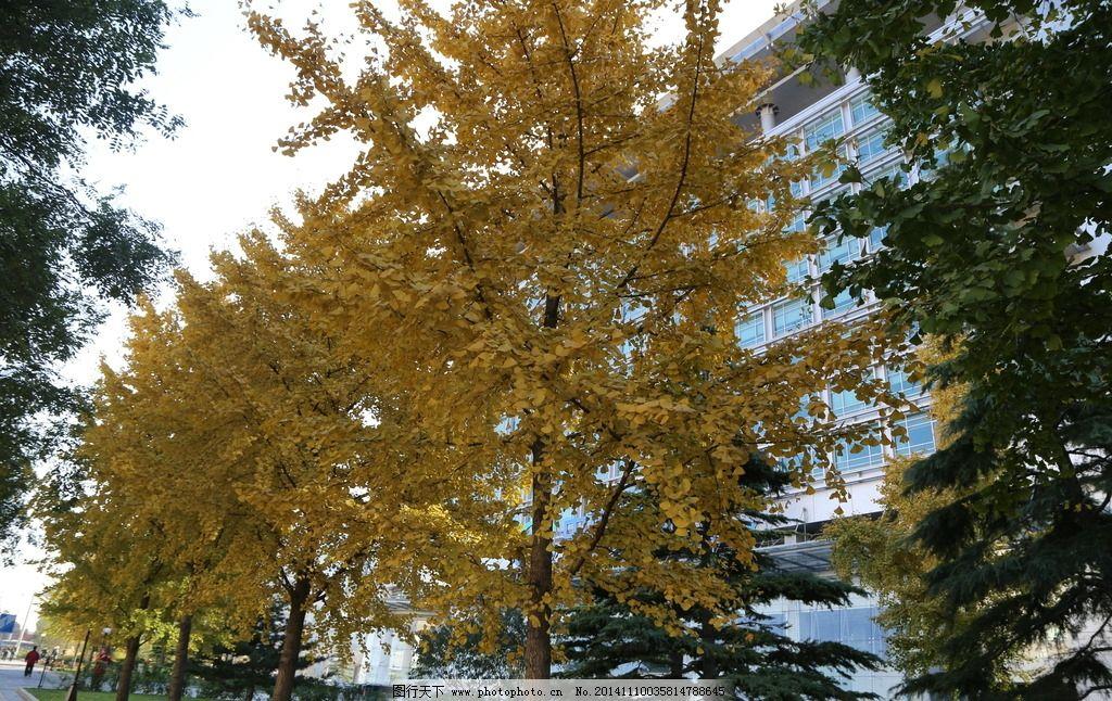银杏 白果 银杏树 银杏林 树木 风景 树冠 树枝 树叶 植物 自然景观