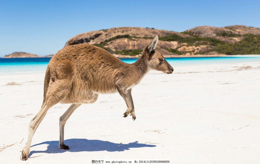 风光 唯美 清新 意境 自然 大海 海边 海 蓝天 袋鼠 沙滩 野生动物