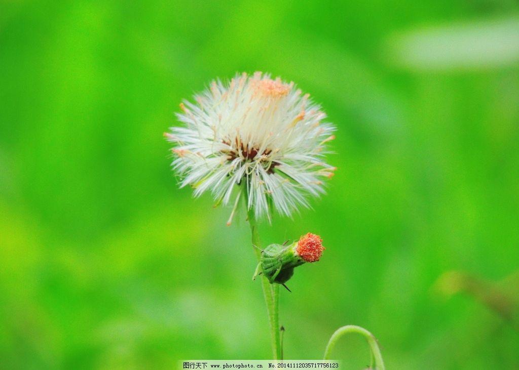 奥林匹克公园蒲公英 秦皇岛 风景 风光 唯美 清新 意境 自然
