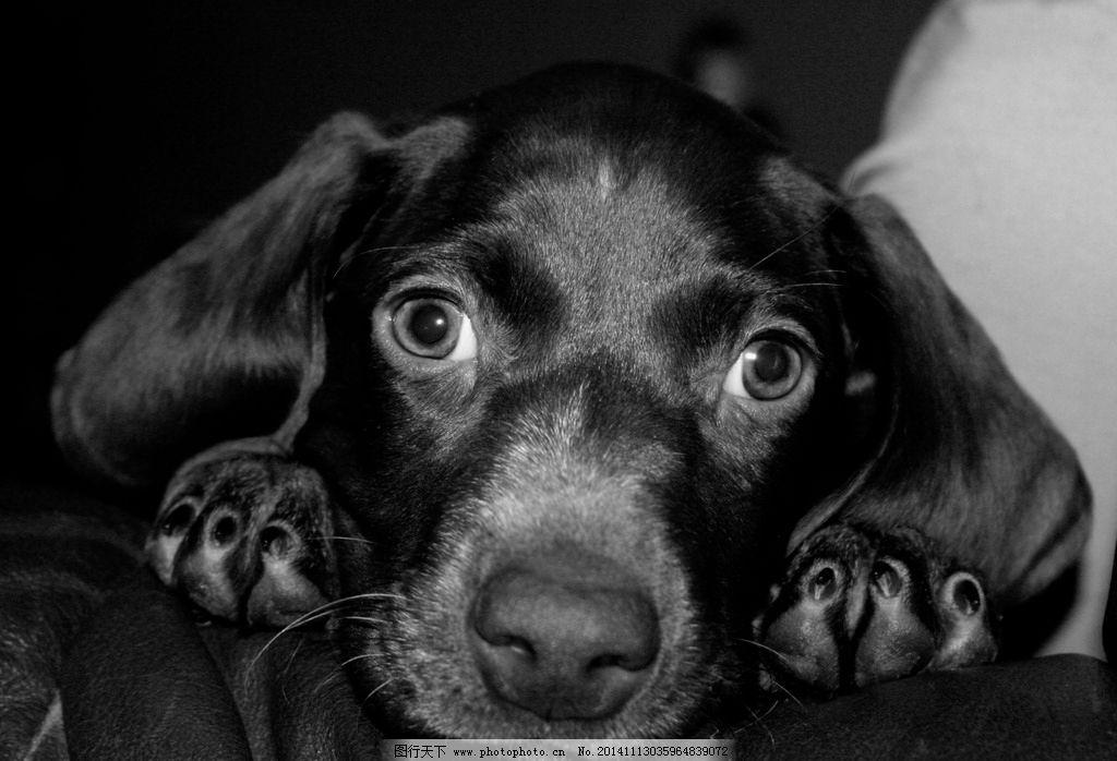 大眼 眼睛 小狗 宠物 动物 天真 无辜 可爱 黑白照片 特写 宠物 摄影