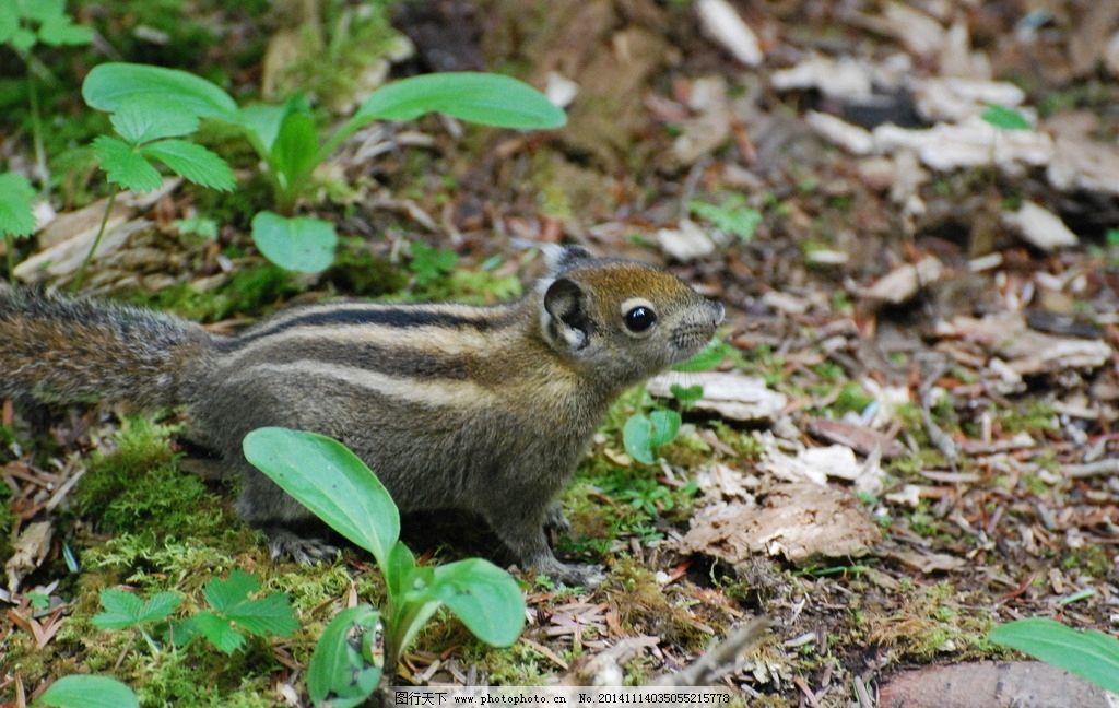 九寨沟 原始森林 风景 摄影 松鼠 小动物 野生动物 摄影 生物世界