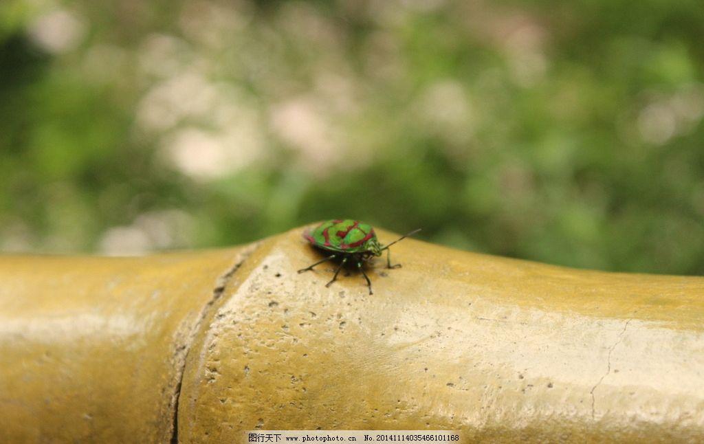 绿蝽 昆虫 绿色会飞虫子 在竹节上的虫 竹节 摄影 生物世界 昆虫 72
