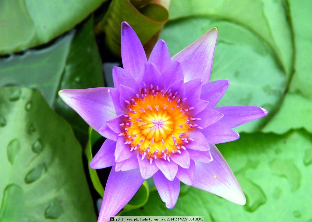 蓮花 清新 色彩對比 美艷 觀賞 水生植物 攝影 生物世界 花草