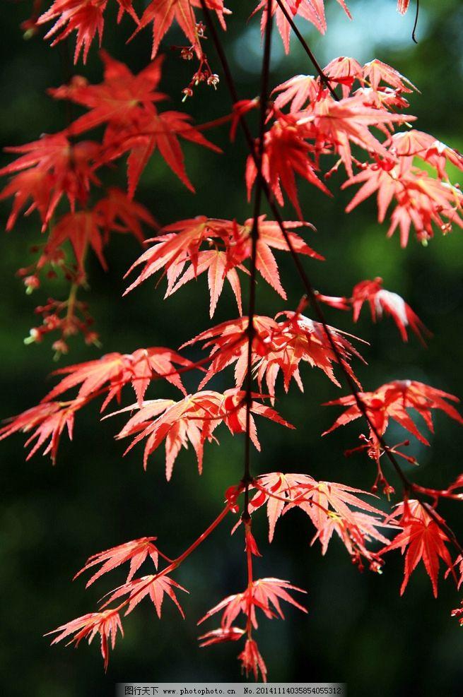 红叶 枫叶 叶子 树叶 红枫叶