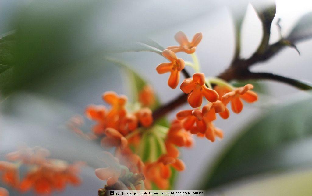 红桂 桂花 八月 桂花糕 桂花仔 摄影 生物世界 树木树叶 72dpi jpg